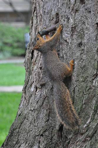 Squirrel -- drinking from a (tree) tap