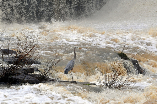 Great Blue Heron Below the Dam