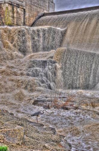 Great Blue Heron Below O'Shaughnessy Dam