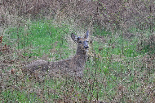 Spike buck at the overlook